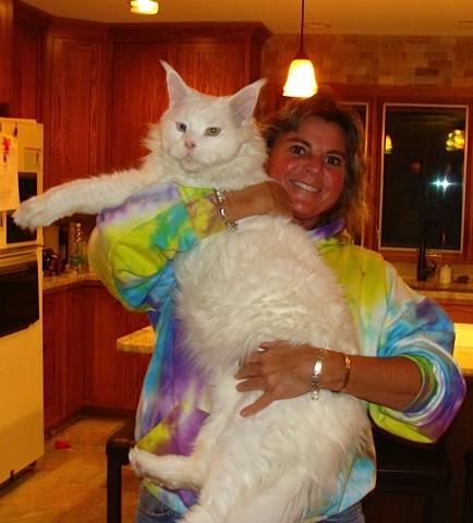 Norwegian Forest Cat For Sale Dayton Ohio